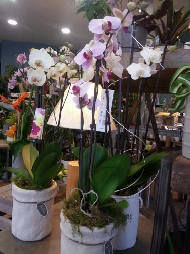 Orchidée fleuriste la sentinelle Valenciennes