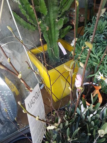Magnolia Valenciennes