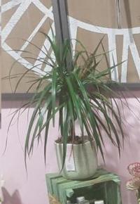 dracaena une plante tendance chez hé fleur et moi fleuriste Valenciennes