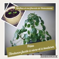 Pilea Tendance plante chez hé fleur et moi fleuriste de
