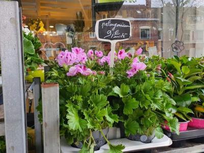 Pelargonium Valenciennes