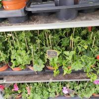 Géraniums Valenciennes la Sentinelle Petite-Foret