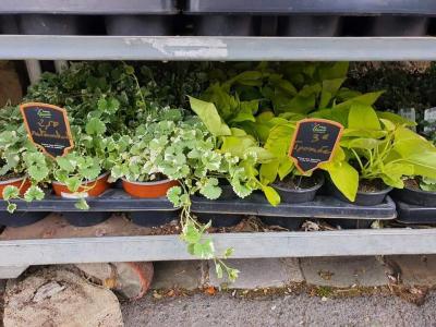 Plantes annuelles Valenciennes La Sentinelle Anzin