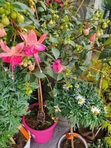 Fuchsia Valenciennes