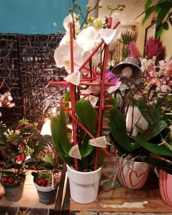 Orchidée nacre saint Valentin Valenciennes fleuriste